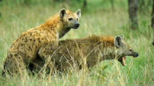 spotted hyena (Crocuta crocuta), mating, Kenya
